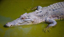 Saltwater Crocodile Royalty Free Stock Photography