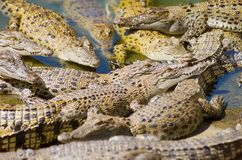 Saltwater Crocodile Stock Images
