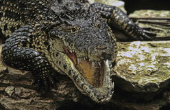 Saltwater crocodile. With mouth open and showing teeth Stock Photo