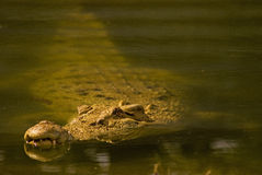 Saltwater crocodile Royalty Free Stock Images
