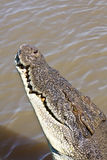 Saltwater Crocodile. 4 meter long saltwater crocodile, about to jump out of the water. Taken in Litchfield National Park, Australia Stock Photos