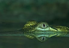Saltwater Crocodile. The head of a Saltwater Crocodile and reflection Royalty Free Stock Photo