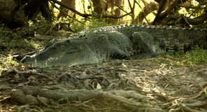 Saltwater crocodile. Close up of saltwater crocodile camouflaged in vegetation royalty free stock photography
