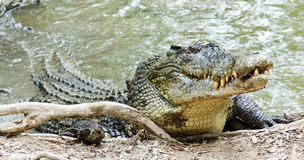 Saltwater Crocodile in Australia. Close up of saltwater crocodile as emerges from water with a toothy grin. The crocoldile's skin colorings and pattern stock image