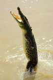 Saltwater Crocodile Australia II royalty free stock photography