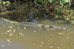 Saltwater Crocodile, Australia Stock Photography