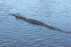 Saltwater Crocodile, Australia Royalty Free Stock Photo