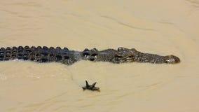 Saltwater Crocodile, australia Royalty Free Stock Images