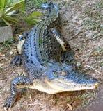 Saltwater Crocodile, australia Stock Photo