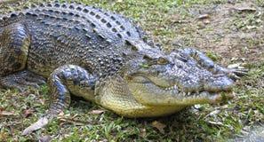 Saltwater Crocodile, australia Stock Image