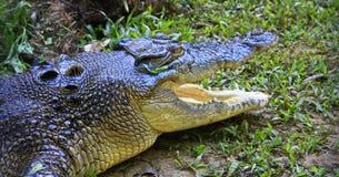 Saltwater Crocodile, australia Royalty Free Stock Image