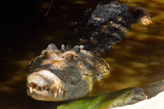 Saltwater crocodile Stock Photos
