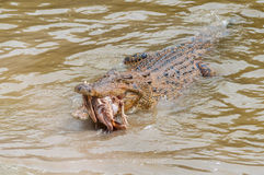 Saltwater crocodile in captivity Stock Images