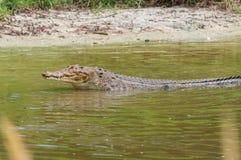 Saltwater crocodile in captivity Royalty Free Stock Photo