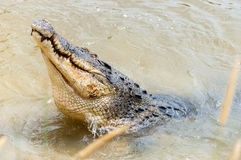 Saltwater crocodile in captivity Stock Photo