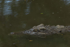 Saltwater crocodile. Close up saltwater crocodile waiting in the water Stock Photography