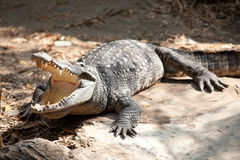 Saltwater crocodile Stock Photo