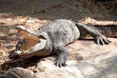 Saltwater crocodile Stock Photo