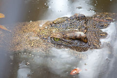 Saltwater crocodile Stock Photography