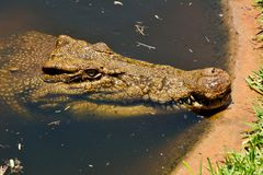 Saltwater crocodile Crocodylus porosus. Head of saltwater crocodile Crocodylus porosus Royalty Free Stock Photos