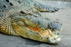 Saltwater crocodile Crocodylus porosus. Head of saltwater crocodile Crocodylus porosus with open mouth Stock Images