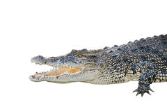 Saltwater crocodile, crocodylus porosus, jaws open wide Royalty Free Stock Photography