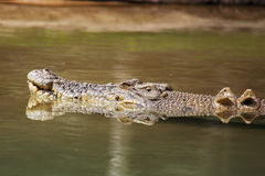 Saltwater Crocodile (Crocodylus porosus) Stock Photos