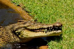 Saltwater crocodile Crocodylus porosus. With open mouth Royalty Free Stock Photography