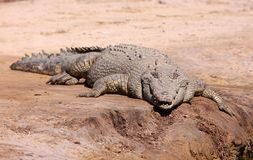 Saltwater crocodile. Dangerous saltwater crocodile - crocodylus porosus - basking in the sun on a river bank in northern Australia Royalty Free Stock Image