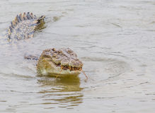 Saltwater Crocodile Feeding I Royalty Free Stock Images