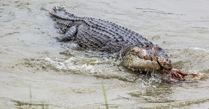 Saltwater Crocodile Feeding II Royalty Free Stock Photos