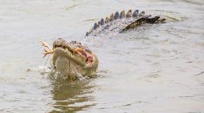 Saltwater Crocodile Feeding V Stock Photography