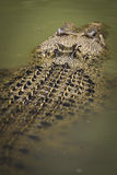 Saltwater crocodile floating Stock Photos