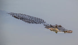 Saltwater Crocodile I Royalty Free Stock Photo