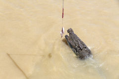 Saltwater crocodile jumping out from Adelaide River for feeding Royalty Free Stock Photography