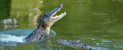 Saltwater crocodile leap out of the water Stock Photos