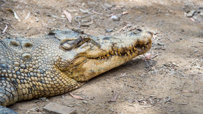 Saltwater crocodile, QLD, Australia. WANGETTI, QLD/AUSTRALIA - OCT 24, 2015: Saltwater crocodile on land, at Hartleys's Crocodile Adventures, Queensland Royalty Free Stock Photography