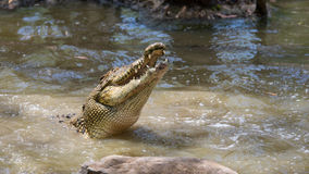 Saltwater crocodile, QLD, Australia. WANGETTI, QLD/AUSTRALIA - OCT 24, 2015: Saltwater crocodile lunging with mouth open in the water at Hartleys's Crocodile Stock Images