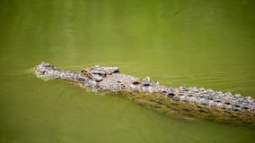 Saltwater crocodile, QLD, Australia. WANGETTI, QLD/AUSTRALIA - OCT 24, 2015: Saltwater crocodile swimming in water, at Hartleys's Crocodile Adventures Royalty Free Stock Photography