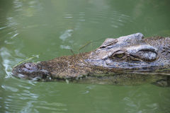 The saltwater crocodile. A saltwater crocodile roams the surface of the water searching for food Royalty Free Stock Image