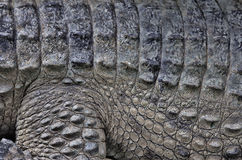 Saltwater crocodile skin close up view Royalty Free Stock Images