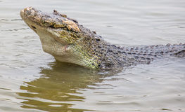 Saltwater Crocodile V Royalty Free Stock Image