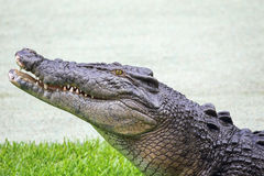 Saltwater Crocodile (Crocodylus porosus) Stock Photo