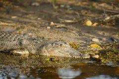 Saltwater Crocodile, Yellow River, Australia Stock Images