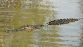 Saltwater Crocodile, Yellow River, Australia Royalty Free Stock Photography