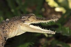 Saltwater Crocodile. A young saltwater crocodile, Crocodylus porosus, Australia royalty free stock photos