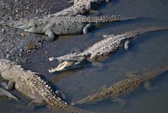 Saltwater Crocodiles. A group of saltwater crocodiles sunbathing in the Río Tarcoles in Costa Rica, with one propping its mouth open Royalty Free Stock Photo