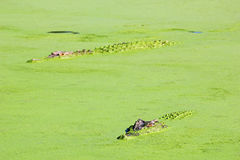 Saltwater Crocodiles lurking in the Water of a Lake, Australia Royalty Free Stock Photo
