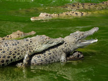 Saltwater crocodiles Royalty Free Stock Images