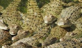 Saltwater crocodiles Royalty Free Stock Photos